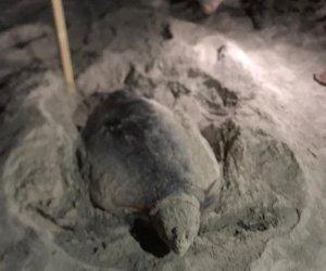 https://www.tp24.it/immagini_articoli/02-07-2020/1593668896-0-san-vito-lo-capo-tartaruga-caretta-caretta-in-spiaggia.jpg