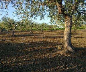 https://www.tp24.it/immagini_articoli/24-08-2020/1598228486-0-olive-ci-sono-pochi-operai-in-provincia-di-trapani-la-nocellara-rischia-di-restare-sugli-alberi.jpg
